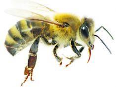 Węch pszczół najlepszy