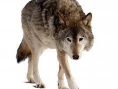 Pomocne wilki