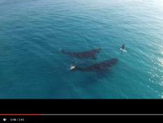 Surfowanie z wielorybami podbija internet! Niezwykłe nagranie z drona!