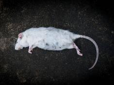 Martwy szczur w sukience od Zary, oto makabryczne odkrycie klientki!