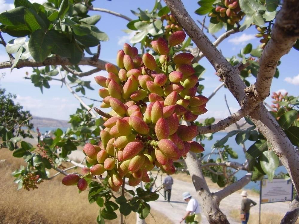 Orzechy pistacjowe gdzie rosną