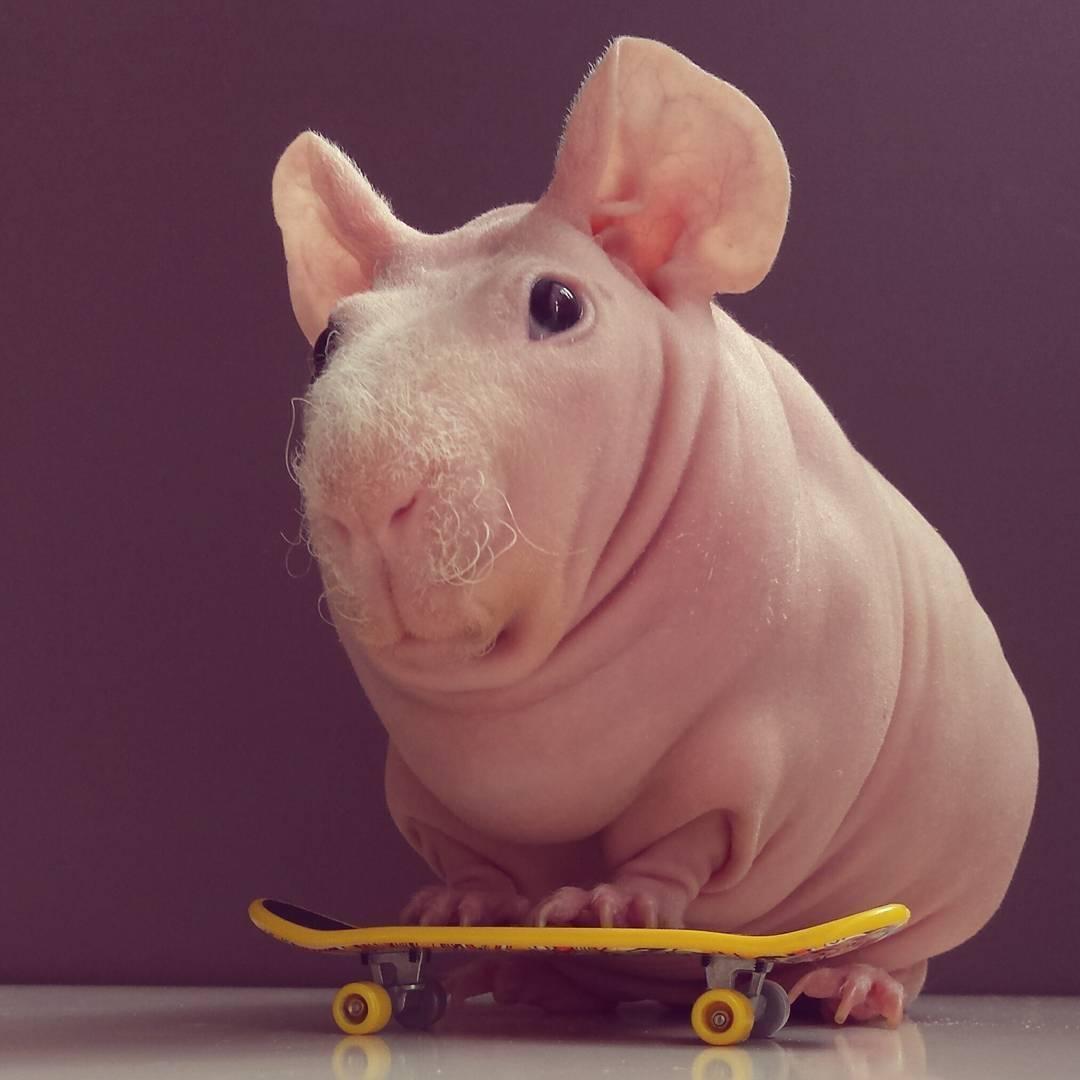 Słodka świnka morska podbija internet