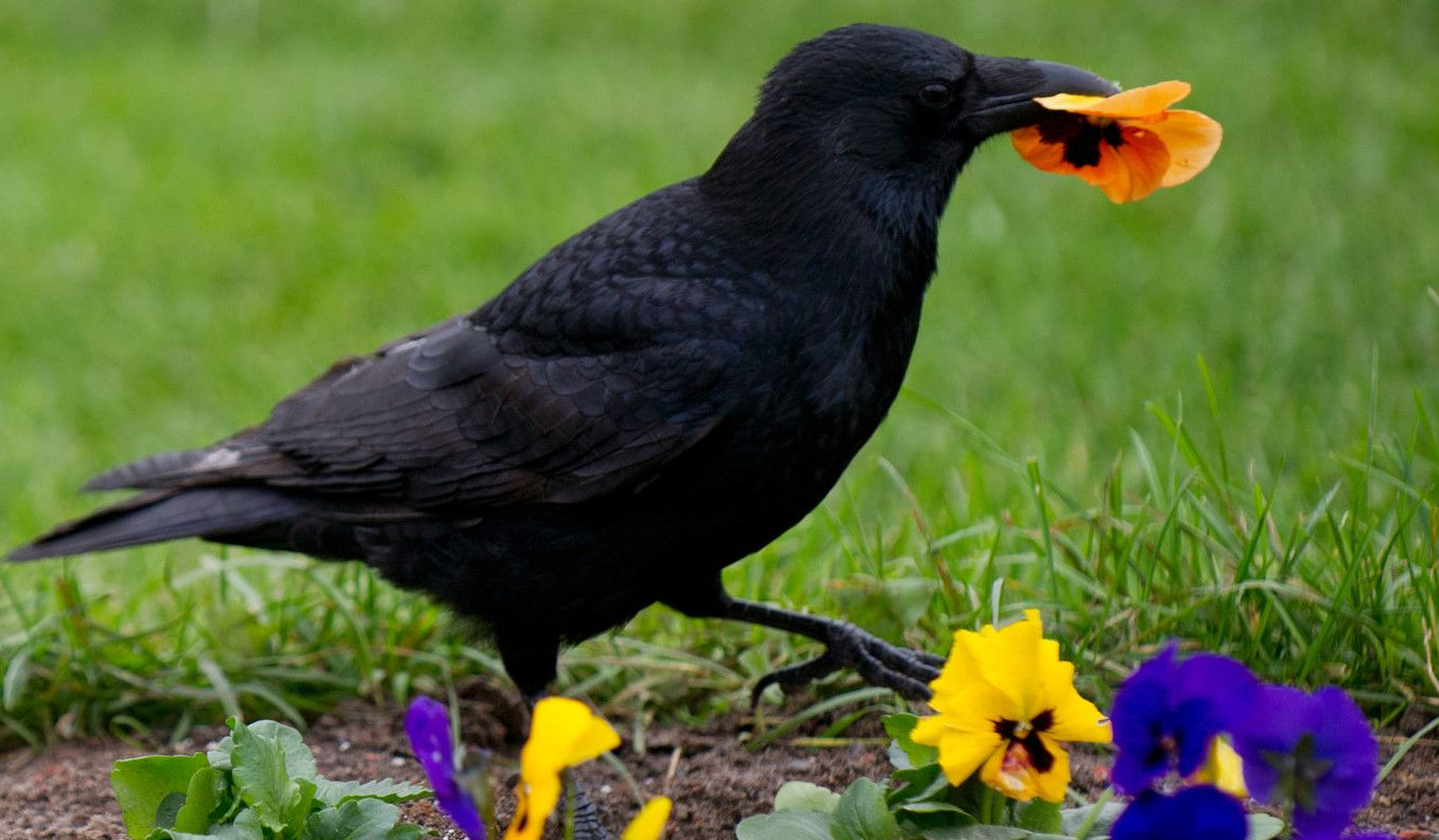 A raven holds a flower on October 15, 2012 in Stuttgart, southern Germany.  AFP PHOTO/ Marijan Murat/dpa /GERMANY OUT        (Photo credit should read MARIJAN MURAT/AFP/GettyImages)