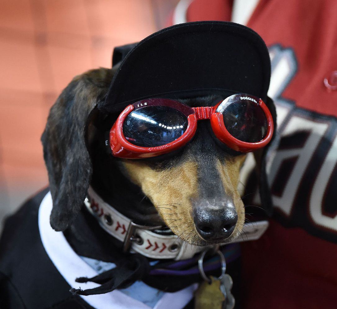 "PHOENIX, AZ - JUNE 06:  A dog is seen during the Arizona Diamondbacks ""Bark at the Park"" event prior to a game against the New York Mets at Chase Field on June 6, 2015 in Phoenix, Arizona.  (Photo by Norm Hall/Getty Images)"